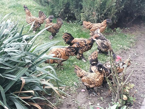 Кури Павловські, Павловская порода кур, яйця інкубаційні.