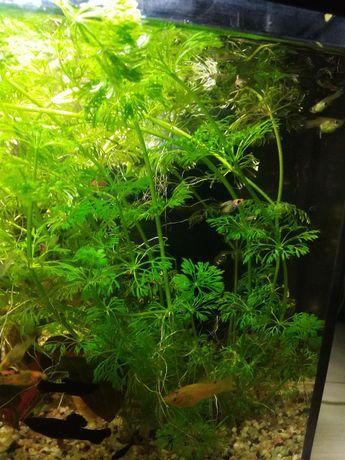 sprzedam tanio rośliny akwariowe