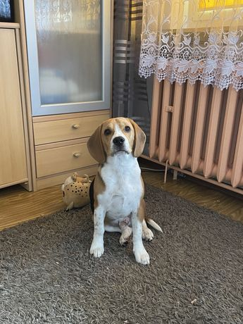 Beagle 7 miesiecy