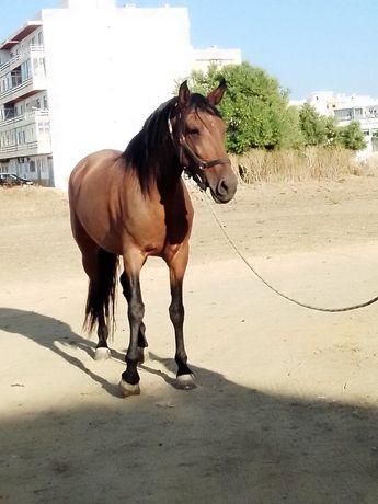 Vendo égua castanha 2 500€