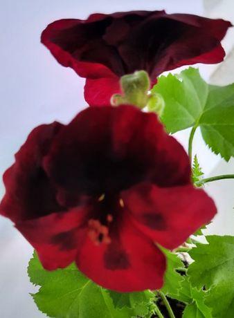 Сортовая пеларгония герань цветущая