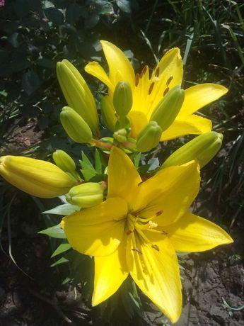 Луковицы желтой лилии 3 шт.