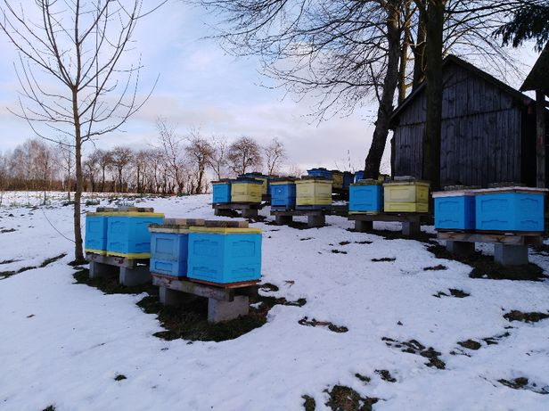 pszczoły sprzedam