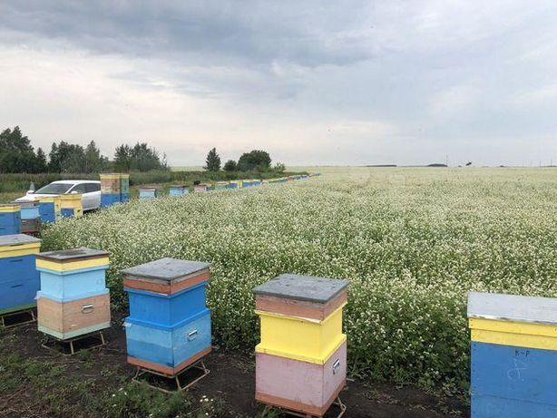 Пчелиная матка породы Карпатка По акционной цене Здоровые.