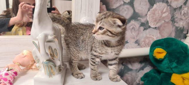 Шотландские вислоухие фолд котята