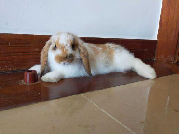 Coelho Mini Lop (orelhudo) 3 meses