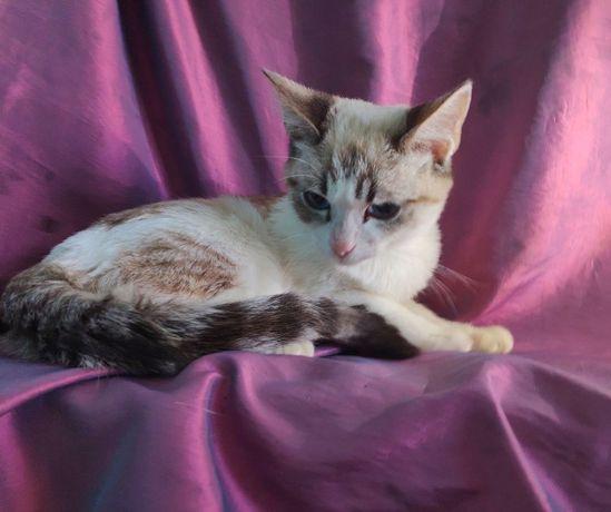 Котенок Сноу шу с белыми лапками и синими глазами