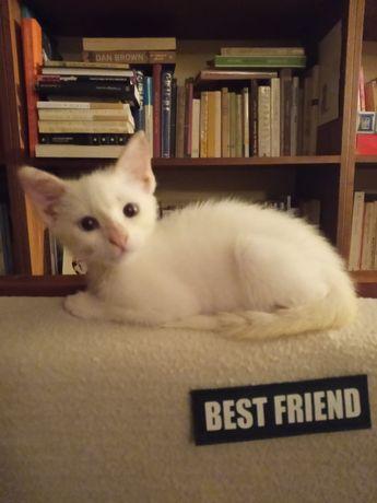 Gatinho branco 2meses