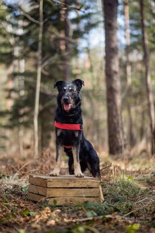 Ares pies stróżujący