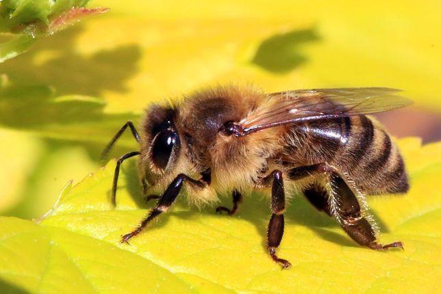 Pszczoły, rodziny pszczele, przezimowane