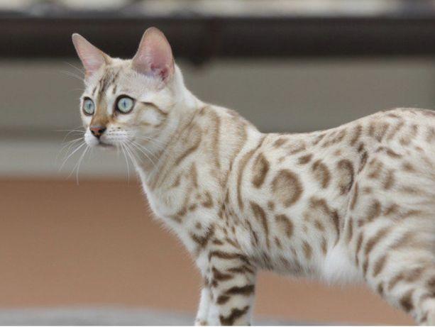 Сеежные бенгальские котята