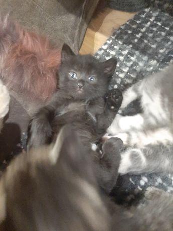 Котёнок,  котята девочка Полтава