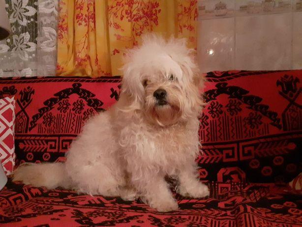 Zaginął pies, gmina Chęciny.