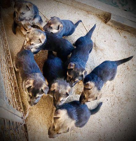 Cachorros pastor alemao - Id 224920