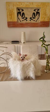 Chihuahua macho mini  perfeito criador registado na DGAV