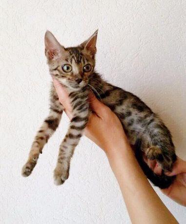 леопардовые и мраморные котята бенгалы приучены к лотку