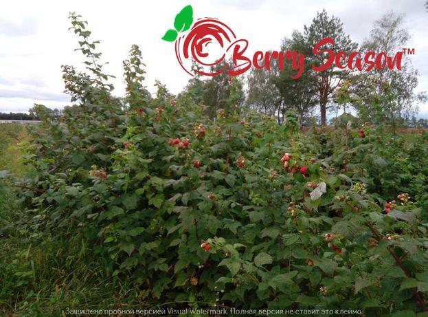 Саженцы летних сортов малины