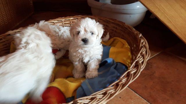 Maltańczyki - szczeniaczki gotowe do nowego domu