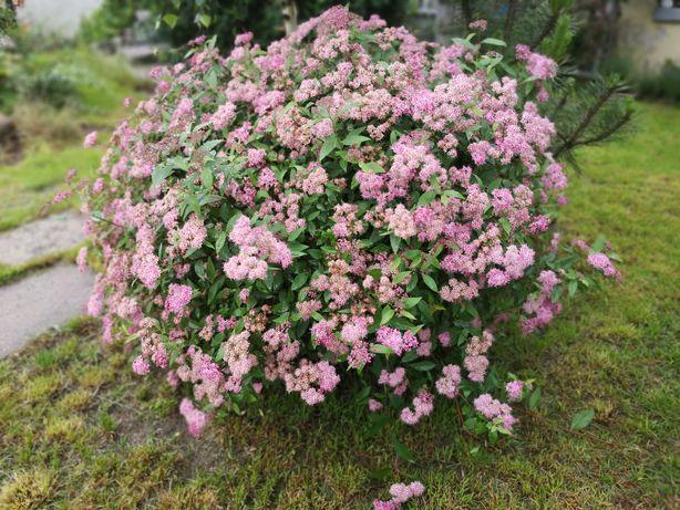 Tawulka Japonska tawula krzew sadzonka