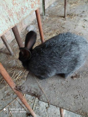 Продам кролі ПС різного віку.