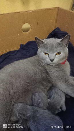 Терміново продам за помірною ціною дві кішки британочки.