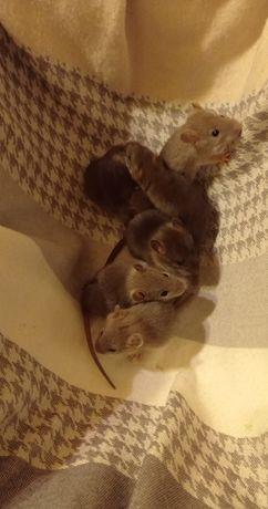 Szczurki samiczki  niebieskie i brązowe