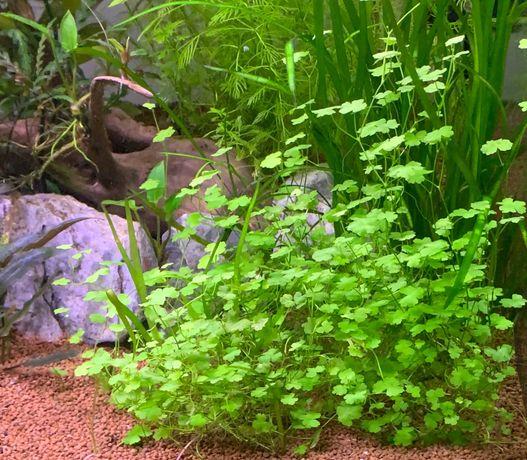 Hydrocotyle Tripartita - plantas de aquário
