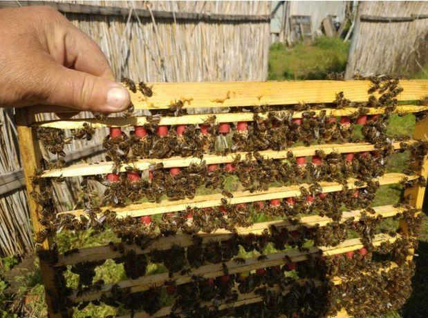 Пчеломатки 2021 Чистопородная Продам