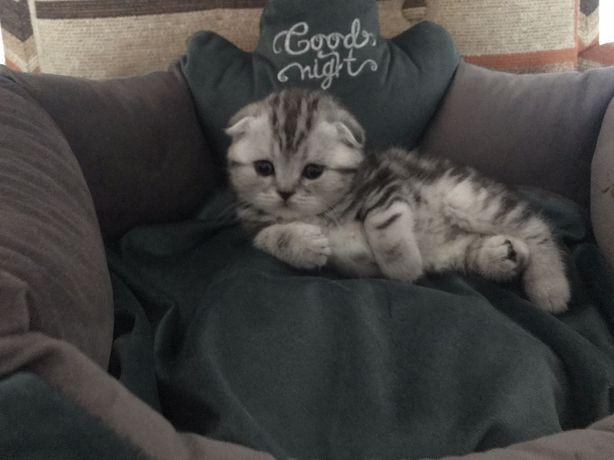 Вислоухие и прямоухие мраморные котята