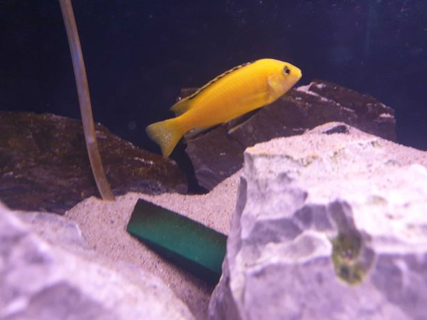Oddam rybki pyszczaki yellow