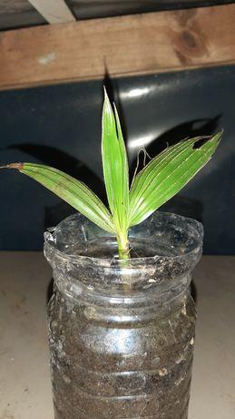 Palmeira de leque ou Washingtonia