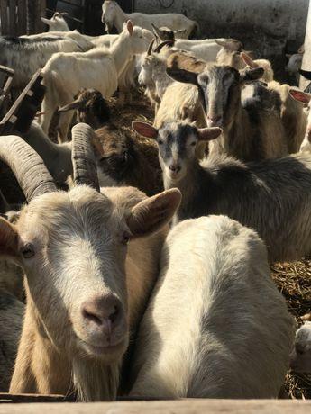 Кози Заанські і ламанчі