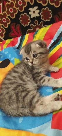 Продам котёнка шотландского веслоухого мальчика