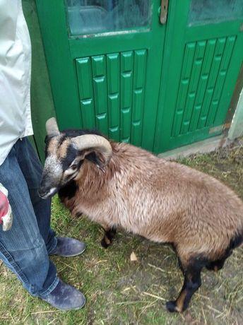 Baran kameruński  spżedam wymienię na owieczkę kameruńską  i barbados