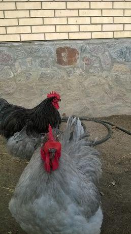 Петухи ,цыплята,инкубационные яйца орпингтоны,кохинхины,ливенские