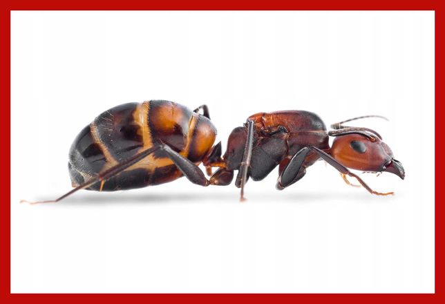Mrówki Camponotus nicobarensis - Królowa + 7 W + potomstwo