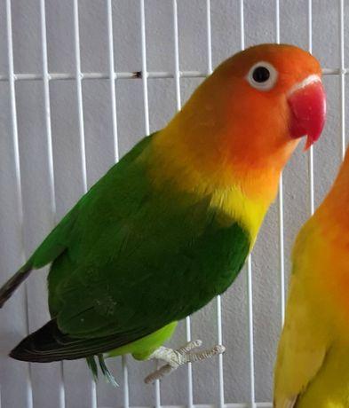 Zaginęła papuga nierozłączka