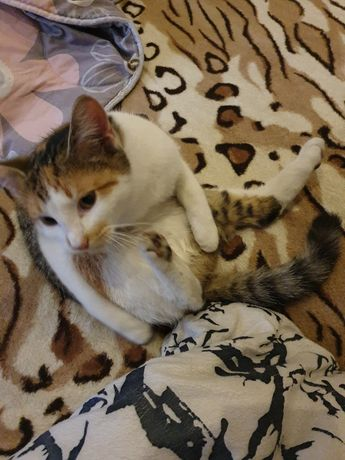 Zaginęła trzykolorowa kotka