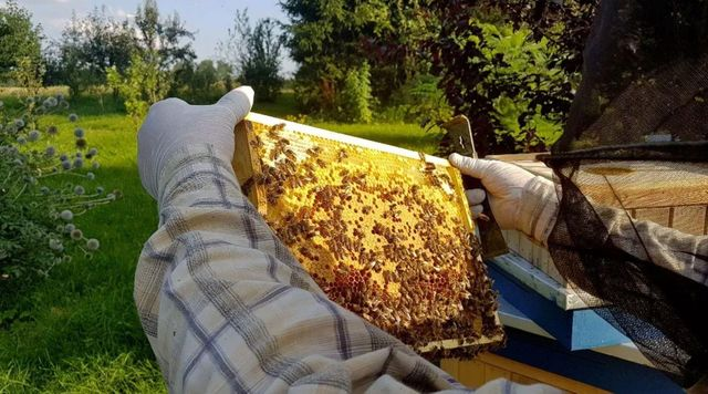 Сезонные скидки! Выносливые Карника пчеломатка