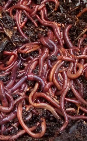 500 Minhocas Californianas para Vermicompostagem envolvidas em húmus