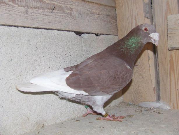 Gołąbki od Mariana nr 19 - gołębie staropolskie