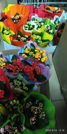 Каланхое разнообразных расцветок