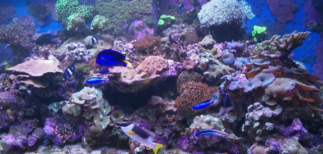 Szczepki korali z tego zbiornika