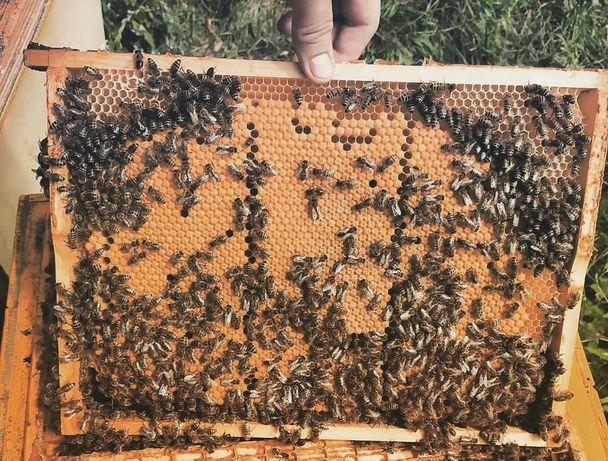 Odkłady pszczele pszczoły rodziny młode matki