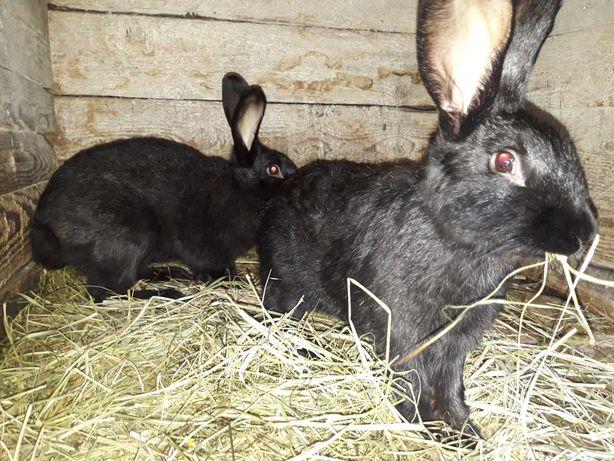 Продам кролики. Бургундія Полтавське срібло.