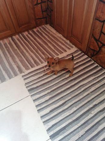 Bonito cachorro criador registado na DGV