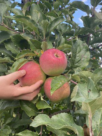 Jabłka gruszki samozbiór hurt detal sobota niedziela owoce