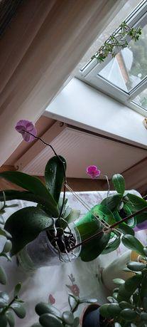 Орхідеї без цвіту, здорові