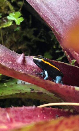 Phyllobates Vittatus Liściołaz paskowany Poison frog ~~|  Śląskie
