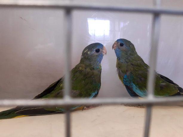 Papugi faliste 2020r